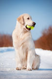 Golden retriever dog with a tennis ball in his mouth Royalty Free Stock Photos