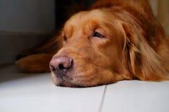 Dog portrait, golden retriever dog lying down on floor. Stock Image