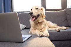 Golden retriever dog with tongue out lying on sofa and looking at laptop Royalty Free Stock Photo