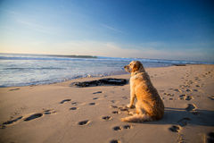 Golden retriever dog waiting on the beach Royalty Free Stock Photo