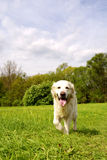 Golden retriever dog walking Royalty Free Stock Image
