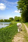 Golden retriever dog walking Royalty Free Stock Photo