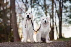 Golden retriever dog walking a puppy on a leash. Golden retriever dogs outdoors in summer Stock Photos