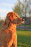 Golden Retriever Dog Watch Royalty Free Stock Images