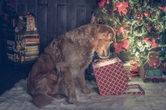 Golden retriever dog watching in his Christmas box stock image