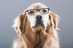 Golden Retriever Dog Wearing Glasses Stock Photos