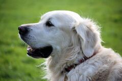 Golden Retriever Dog Wearing Red Collar Stock Photo