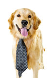 Golden retriever dog wearing a tie Royalty Free Stock Photo