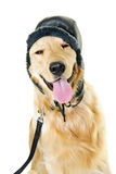 Golden retriever dog wearing winter hat Stock Images