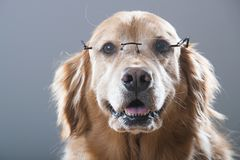 Happy Golden Retriever Dog smiling and wearing reading glasses Stock Images