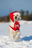 Golden retriever dog in winter Stock Image