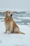 Golden retriever dog at winter sea Stock Photo