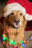 Golden Retriever Dog wrapped in colorful Christmas lights Royalty Free Stock Photo
