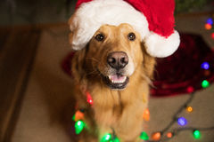 Golden Retriever Dog wrapped in colorful Christmas lights Stock Photo