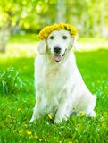 Golden retriever dog with a wreath of flowers on its head royalty free stock images