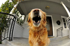 Golden Retriever Dog Yawning Royalty Free Stock Photography