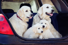 Golden retriever dogs and puppies in a car trunk Stock Image