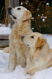 Golden Retriever Dogs in Snow stock images