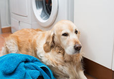 Golden Retriever doing laundry Stock Image