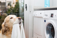 Golden Retriever doing laundry Royalty Free Stock Photo