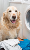 Golden Retriever doing laundry Royalty Free Stock Images