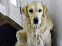 Golden Retriever at Door. A young male golden retriever sits at the door asking to go outside royalty free stock images