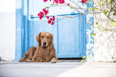 A golden retriever at the door Royalty Free Stock Images
