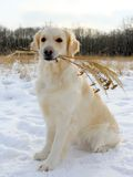 Golden Retriever with dry grass Royalty Free Stock Images