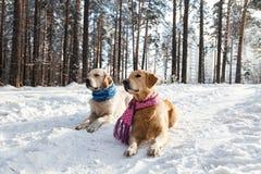 Golden retriever due cani che si trovano nella neve Fotografie Stock Libere da Diritti