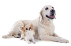 Golden retriever e chihuahua Imagens de Stock