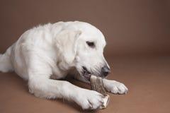 Golden retriever eating bone royalty free stock photography