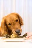 Golden Retriever eating food. Indoor shooting stock photography