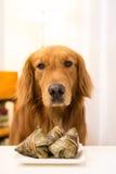 Golden Retriever eating food. Indoor shooting stock images