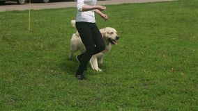 Golden retriever an einer Hundeshow stock video footage