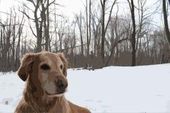 Golden retriever em madeiras nevado Fotos de Stock Royalty Free