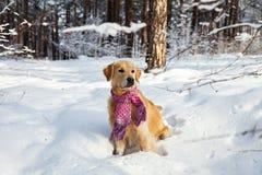 Golden retriever em um lenço cor-de-rosa que corre através da neve Fotografia de Stock