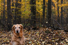 Golden retriever en automne ou automne Photo libre de droits