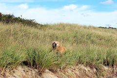 Golden retriever en dunes de sable Photo libre de droits