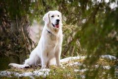 Golden retriever en el bosque Imagenes de archivo