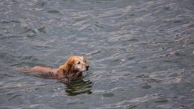 Golden retriever en el mar imagen de archivo