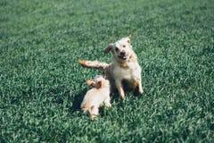 Golden retriever en The Field Imagen de archivo