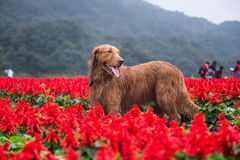 Golden retriever en fleurs Photographie stock