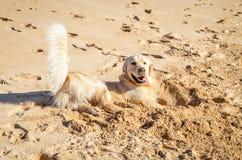 Golden retriever en la arena Foto de archivo libre de regalías