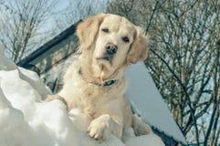 Golden retriever en la nieve Imágenes de archivo libres de regalías
