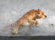 Golden retriever en la playa Imágenes de archivo libres de regalías