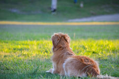 Golden retriever en parc Photographie stock libre de droits