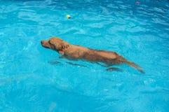 Golden retriever en piscina foto de archivo