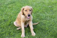 Golden Retriever. English:  The initial name is the Soviet-Russian dog, and later joined the Buddha hunting dog breed, blood hedge breed, water hunting dog stock photos