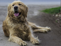 Golden Retriever Diva Stock Image