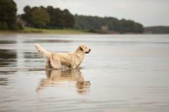 Golden Retriever enjoys lake Royalty Free Stock Images